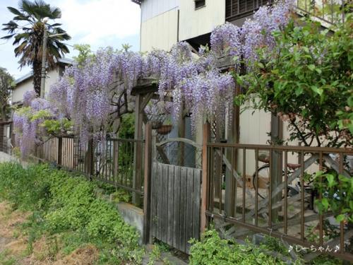 藤の花2015_04