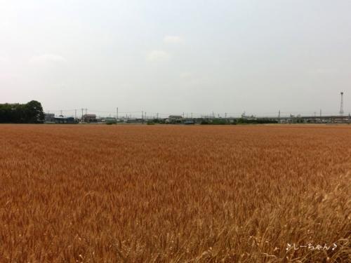 麦畑・2015_02