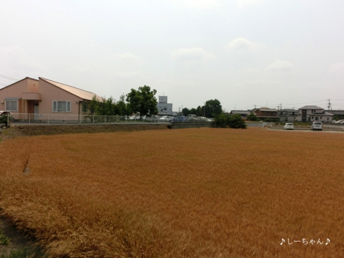 麦畑・2015_01