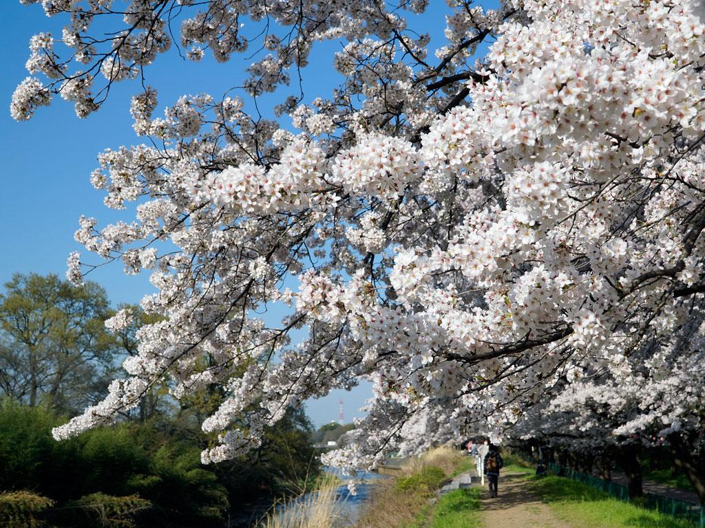 2014_柳瀬川・桜