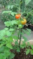 150608 うちのトマト