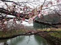 2015.3.29 桜サイズ変更
