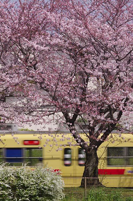 600桜_150330_1