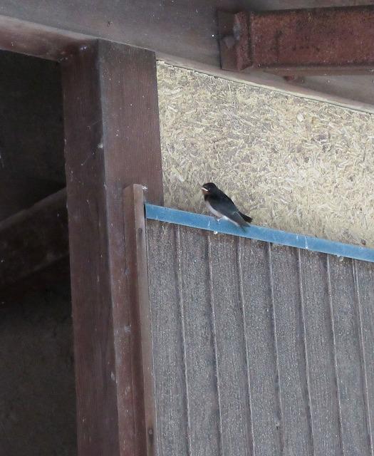 燕飛ぶ練習1 27.6.18