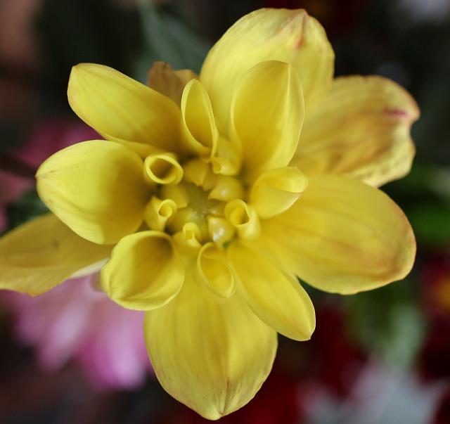 ダリアの花 黄色 27.6.19