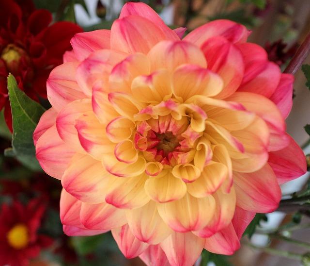 ダリアの花 赤縁取り 27.6.19