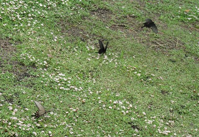 ジャコウアゲハ雌と雄と 27.6.20