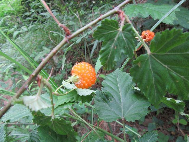 オレンジ野イチゴ 27.5.29
