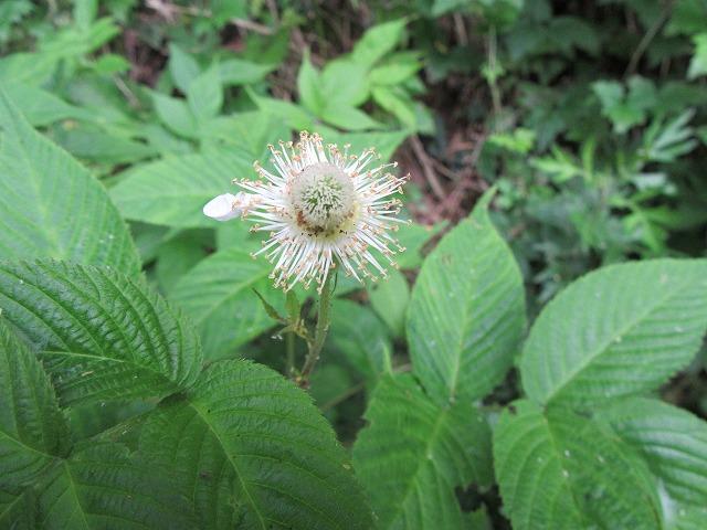 クサイチゴの花終わり 27.5.29
