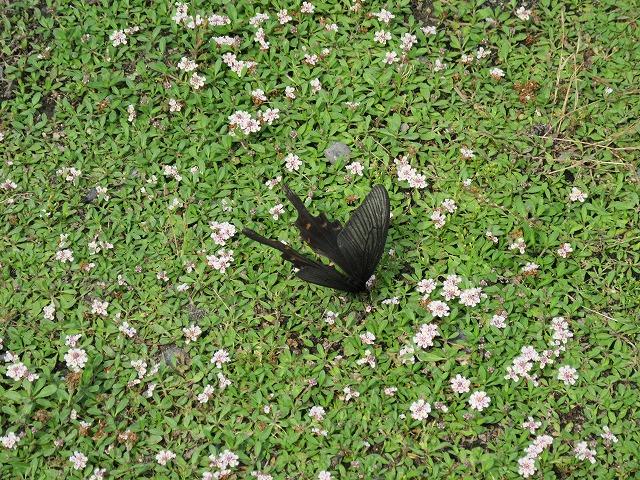 黒いアゲハ蝶蜜を求めて 27.6.19