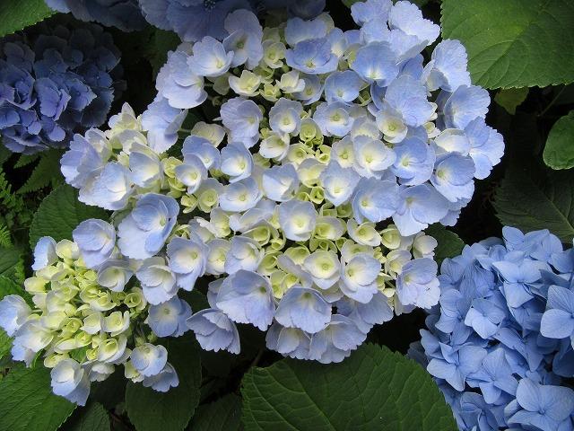 紫陽花今から開きます 27.6.15