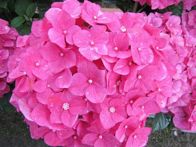 大きな花紫陽花 濃桃色 27.6.22
