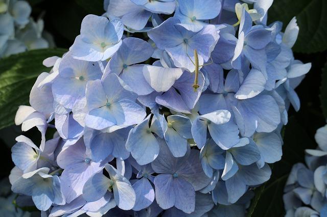 紫陽花とカマキリ 27.5.16