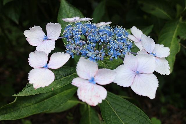 紫陽花の花中央 27.6.15