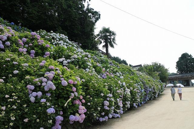 紫陽花祭りが終わって 27.6.15