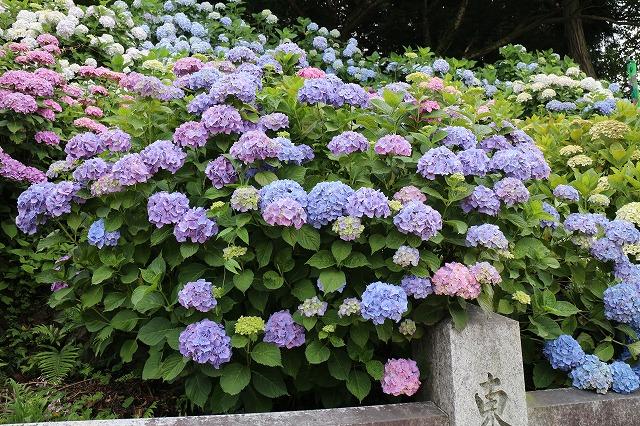 紫陽花青が多い 27.6.15