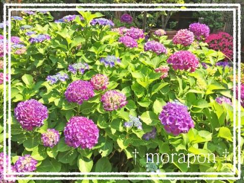 150602 紫陽花-1