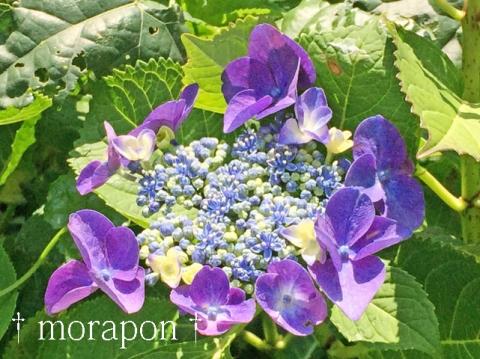 150602 紫陽花-3