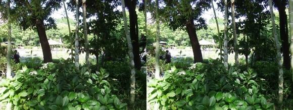 城北菖蒲園 亀甲竹(平行法)