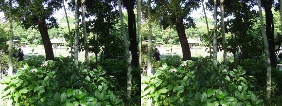 城北菖蒲園 亀甲竹(交差法)