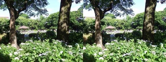 城北菖蒲園 紫陽花②(平行法)