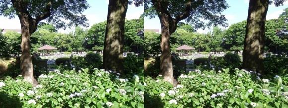 城北菖蒲園 紫陽花②(交差法)