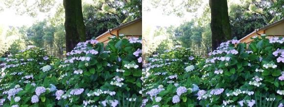 城北菖蒲園 紫陽花①(平行法)