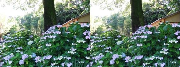 城北菖蒲園 紫陽花①(交差法)