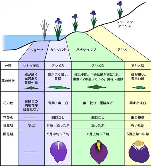 ショウブ・アヤメ・カキツバタ・花菖蒲の見分け方