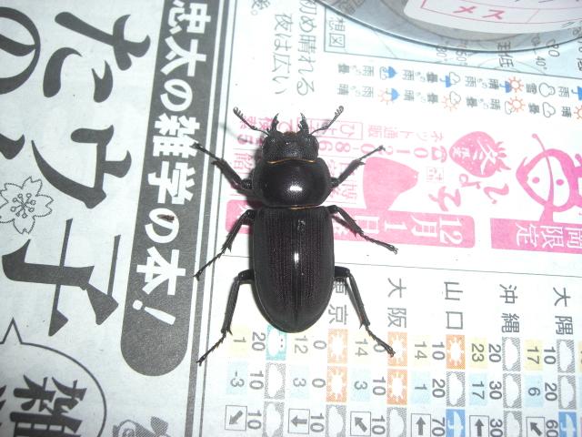 トクノシマコクワガタ6