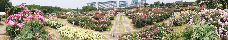 150528京成バラ園 (2 - 1)