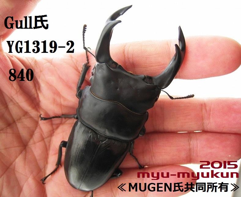 2015種親 Gull氏1319-2