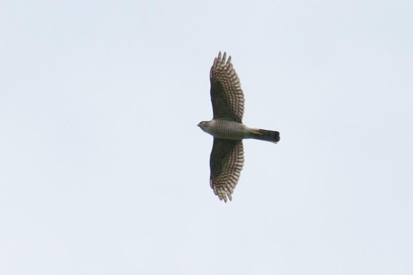 150416ツミメス成鳥1