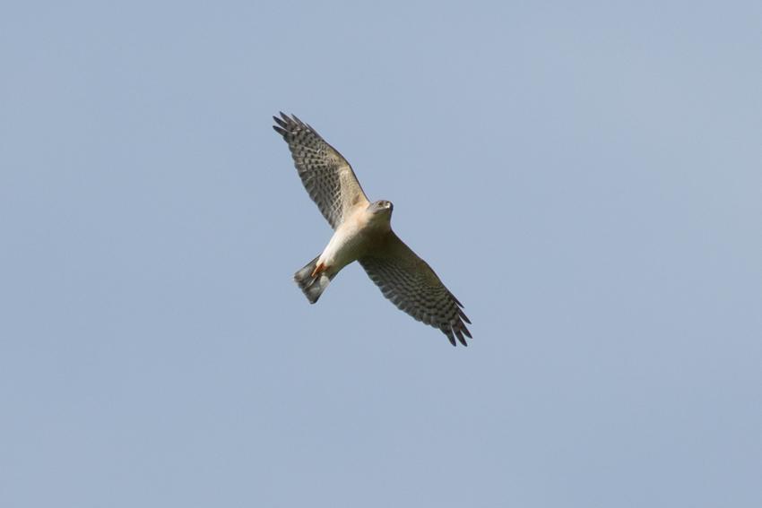 150416ツミオス成鳥1