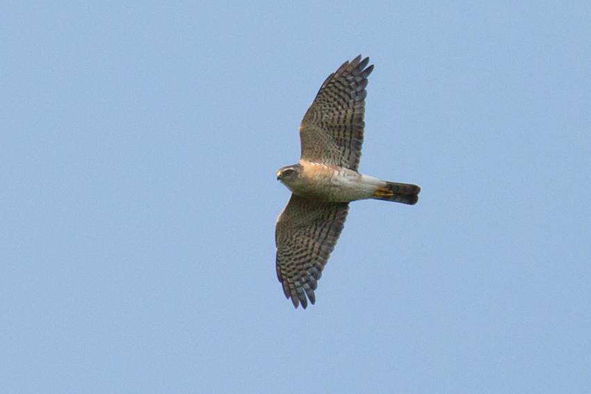 150417ツミオス若鳥