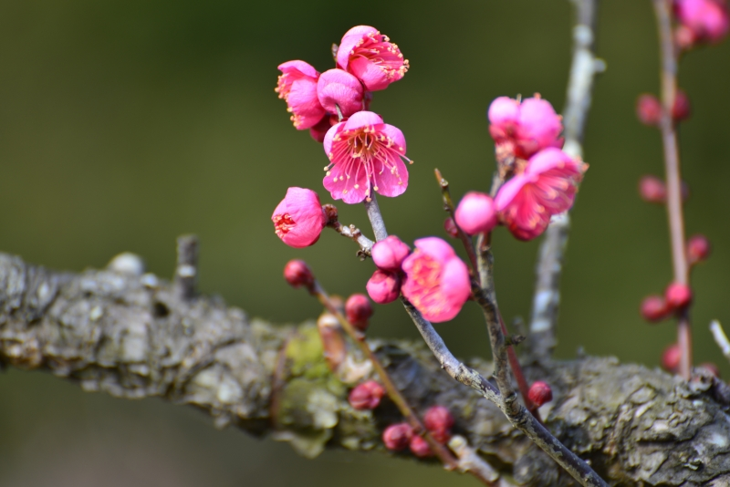 「立春 梅咲きて」 (香川県公渕公園)