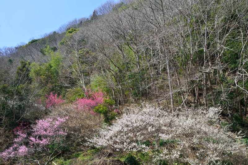 「梅咲く風景」  (徳島県脇町)