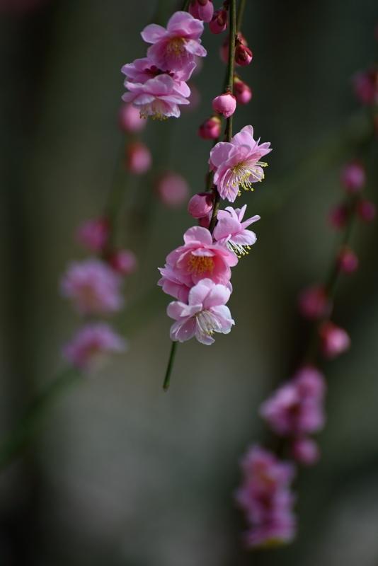 枝垂れ梅2 (徳島県美郷)