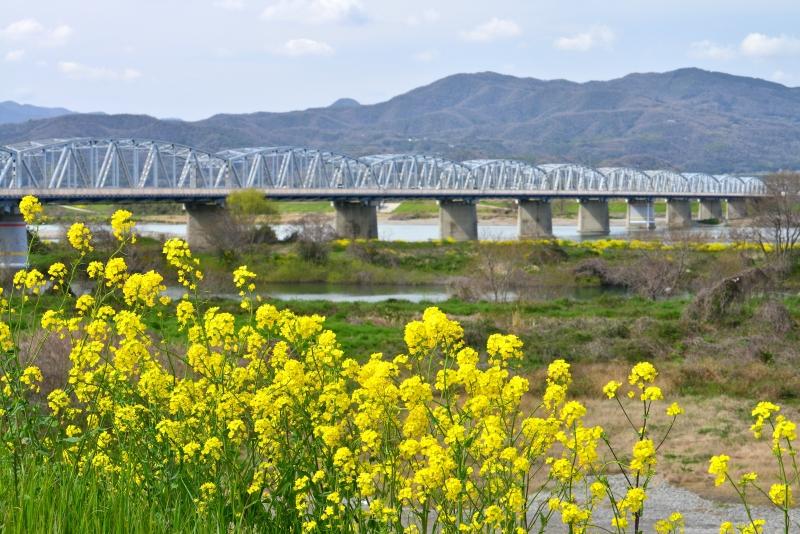 「菜の花満開~吉野川中洲3」 (徳島県吉野川市)