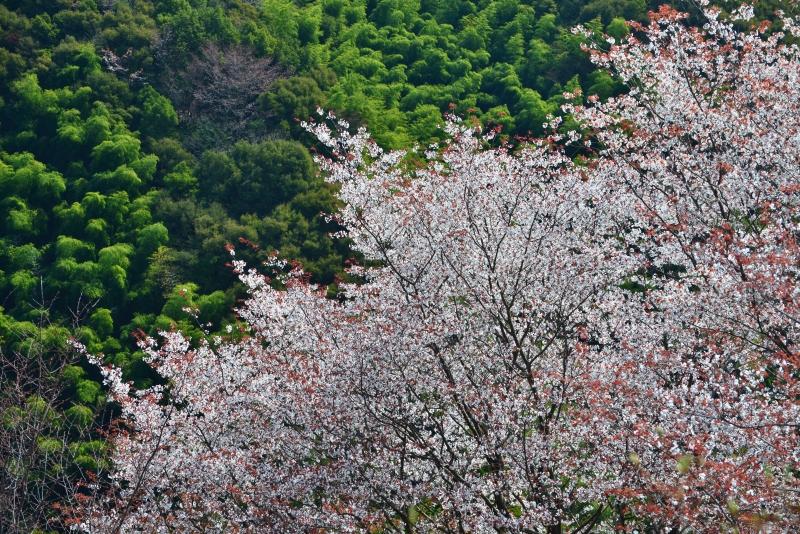 「山桜」  (高知県南国市)