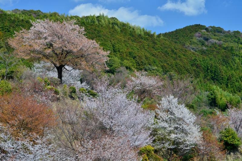 「山里の春3」    (高知県南国市)
