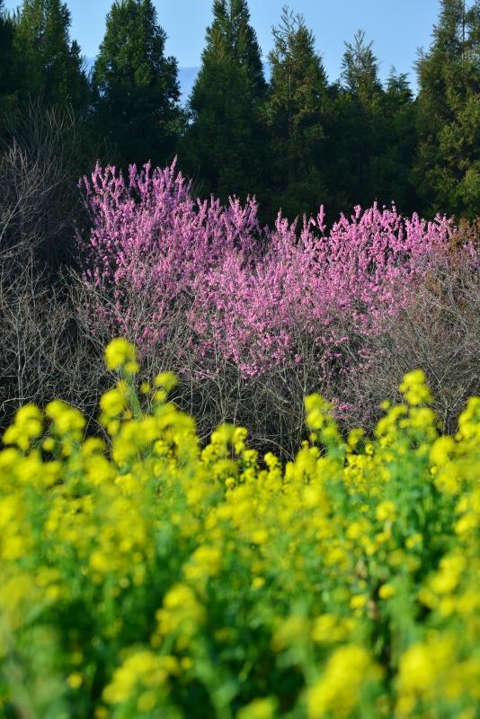 「花桃と菜の花」   (徳島県つるぎ町)