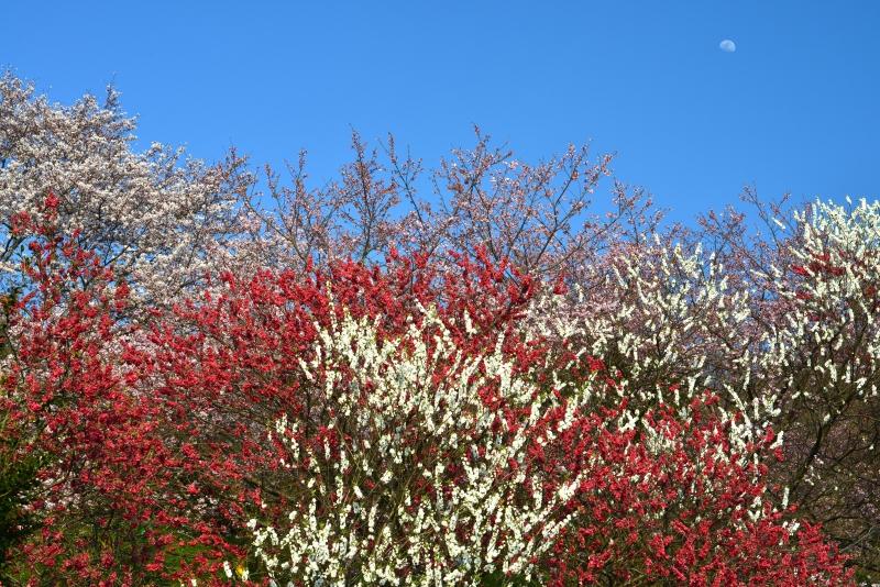 「花桃と桜と月」    (徳島県つるぎ町)