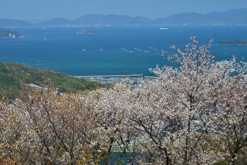 「瀬戸内海を望む山桜」    (香川県さぬき市)