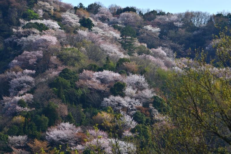 「山桜1」     (香川県さぬき市)