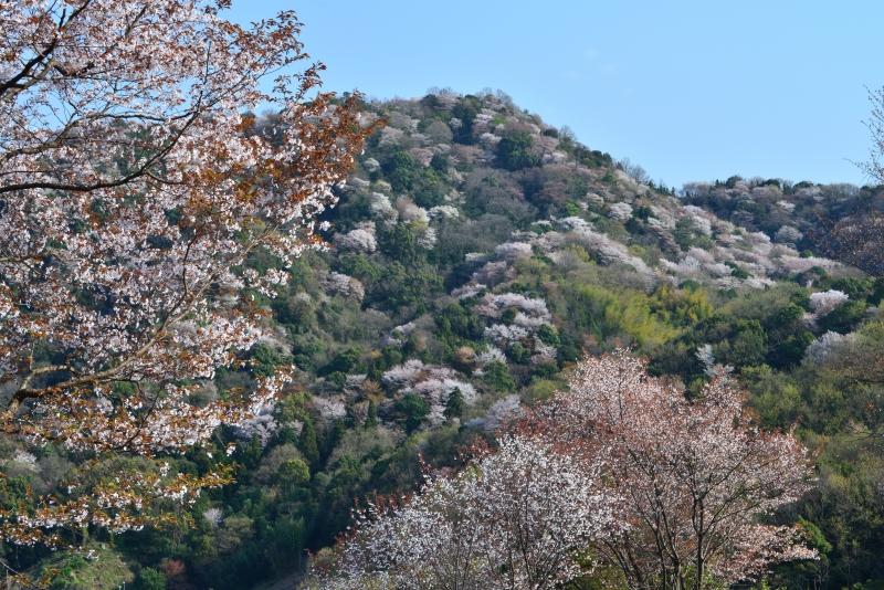 「雲附山山桜」    (香川県さぬき市)