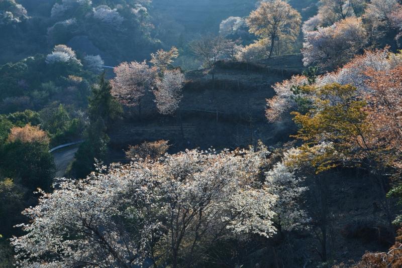 「山桜3」    (香川県さぬき市)