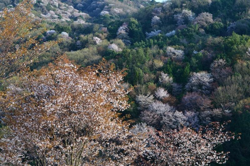 「山桜4」   (香川県さぬき市)