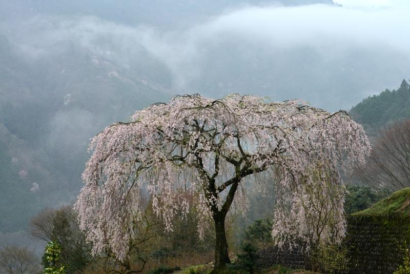 「霧に浮かぶ」   (香川県まんのう町)