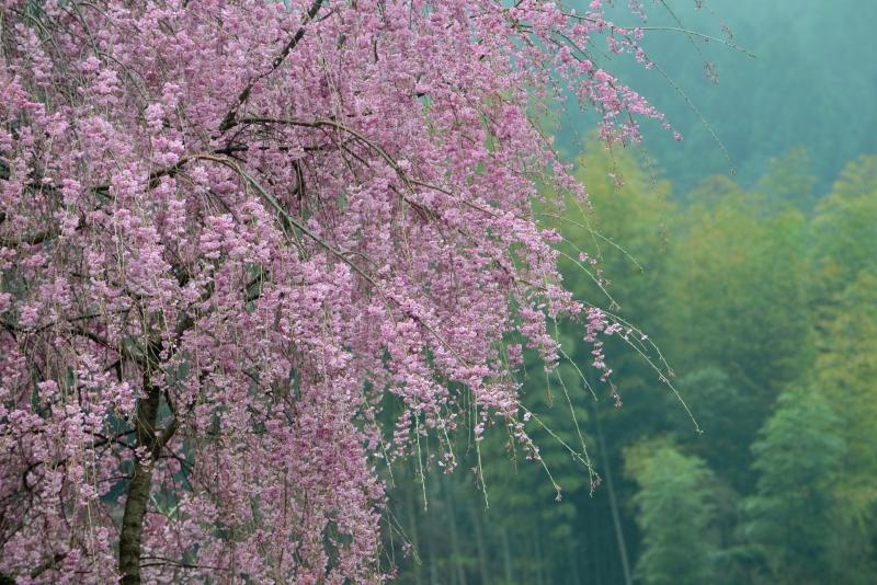 「吉良しだれ桜1」  (徳島県つるぎ町)